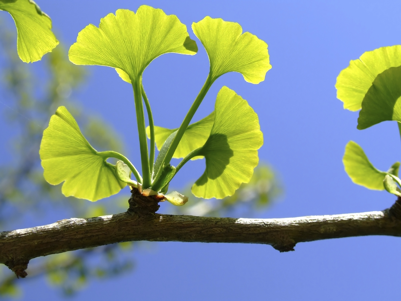 Top 10 Ginkgo Biloba Supplements